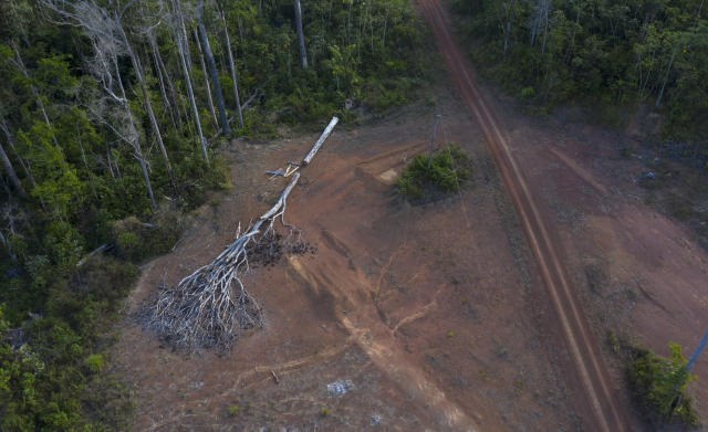 "This Sept. 2, 2019 photo shows a cut tree that was felled by a fire in a deforested area near the village Ka 'a kyr, in Para state, Brazil. ""We have to fight for the trees that allow us to breathe,"" said Gleison Tembe a resident of Ka' a kyr, which in the Tembe native tongue means Green Jungle. (AP Photo/Rodrigo Abd)"