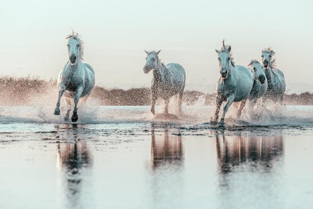 Wild White Horses of Camargue running in water. Aigues Mortes, France