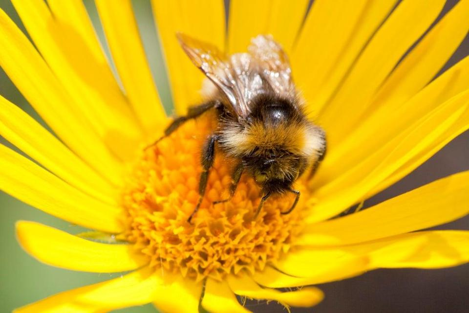 Many bee species are declining across the UK. Much of this is due to a reduction in the flowers they feed on, but the climate emergency is also playing a part, as parasites that attack the bees are becoming more common with the milder winters (Global Warming Images/WWF)