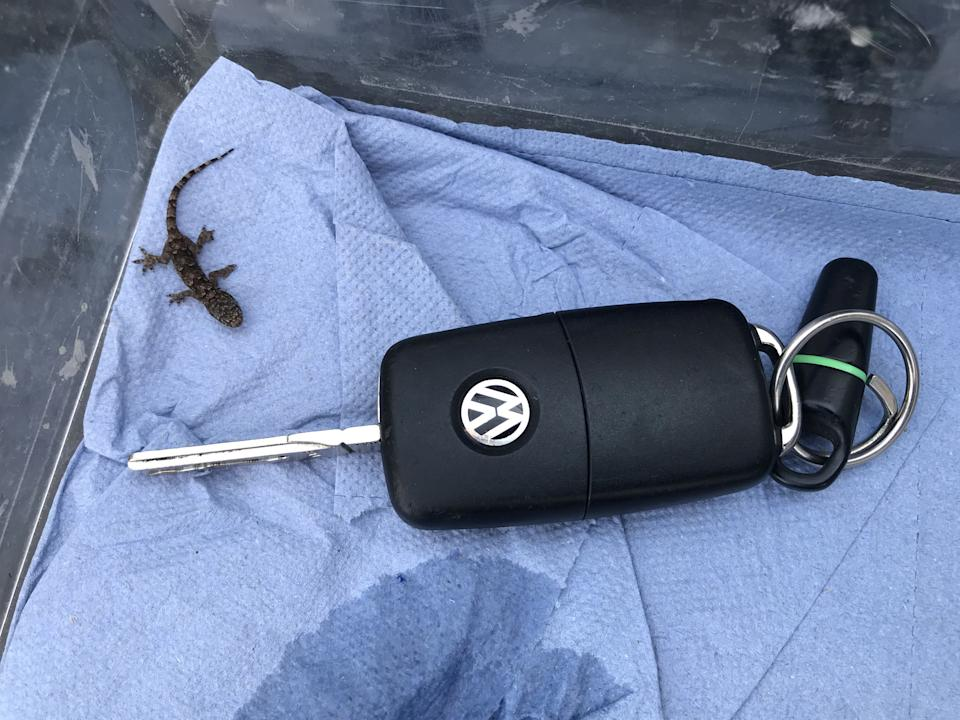 The tiny lizard next to a car key to show its size. (SWNS)