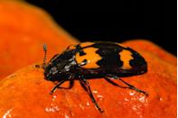 <p><strong>American Burying Beetle - </strong>Known for living in more than 25 states, the beetle now only lives in five. Its main source of nutrition is the Silphidae which we've almost driven out. </p>