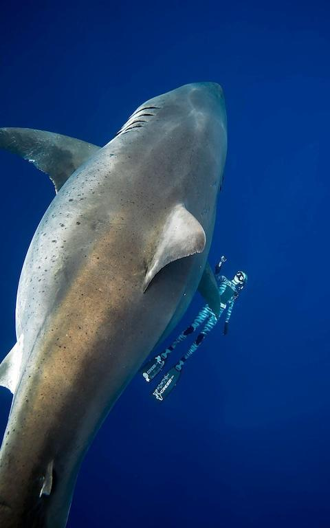 A shark said to be 'Deep Blue', one of the largest recorded individuals, swims offshore Hawaii, U.S., on January 15
