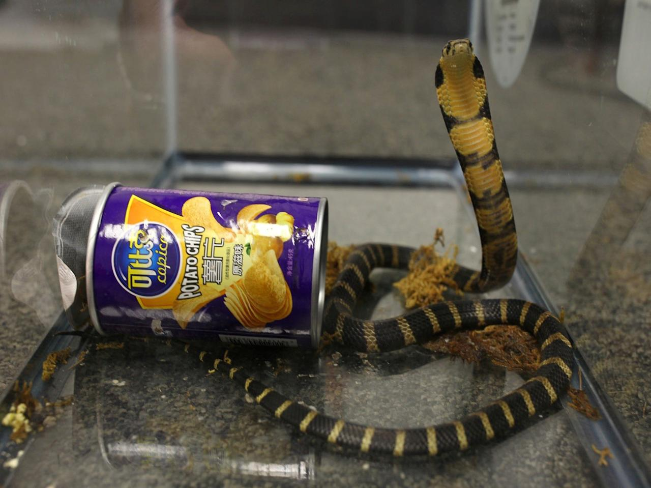 <p>A king cobra snake seen coming out of container of chips in this udated handout photo obtained July 25, 2017. (Photo: United States Attorney's Office Central District of California/Reuters) </p>