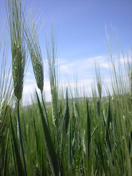 This photo taken Wednesday, Oct. 10, 2012 shows the half hectare wheat farm of Ethiopian farmer Bedlu Mamo, near Debre Zeit, in Ethiopia's Amhara region. Bedlu says it is the first time he planted the Mangudo variety durum wheat on the farm. The U.N.'s Food and Agricultural Organization is marking World Food Day on Tuesday, a day dedicated to highlighting the importance of global food security. The FAO said hunger is declining in Asia and Latin America but is rising in Africa. One in eight people around the world goes to bed hungry every night. The International Maize and Wheat Improvement Center says that although maize has long been considered the most important cereal crop in sub-Saharan Africa, demand for wheat is growing faster than for any other food crop. (AP Photo/Kirubel Tadesse Ayetenfisu)