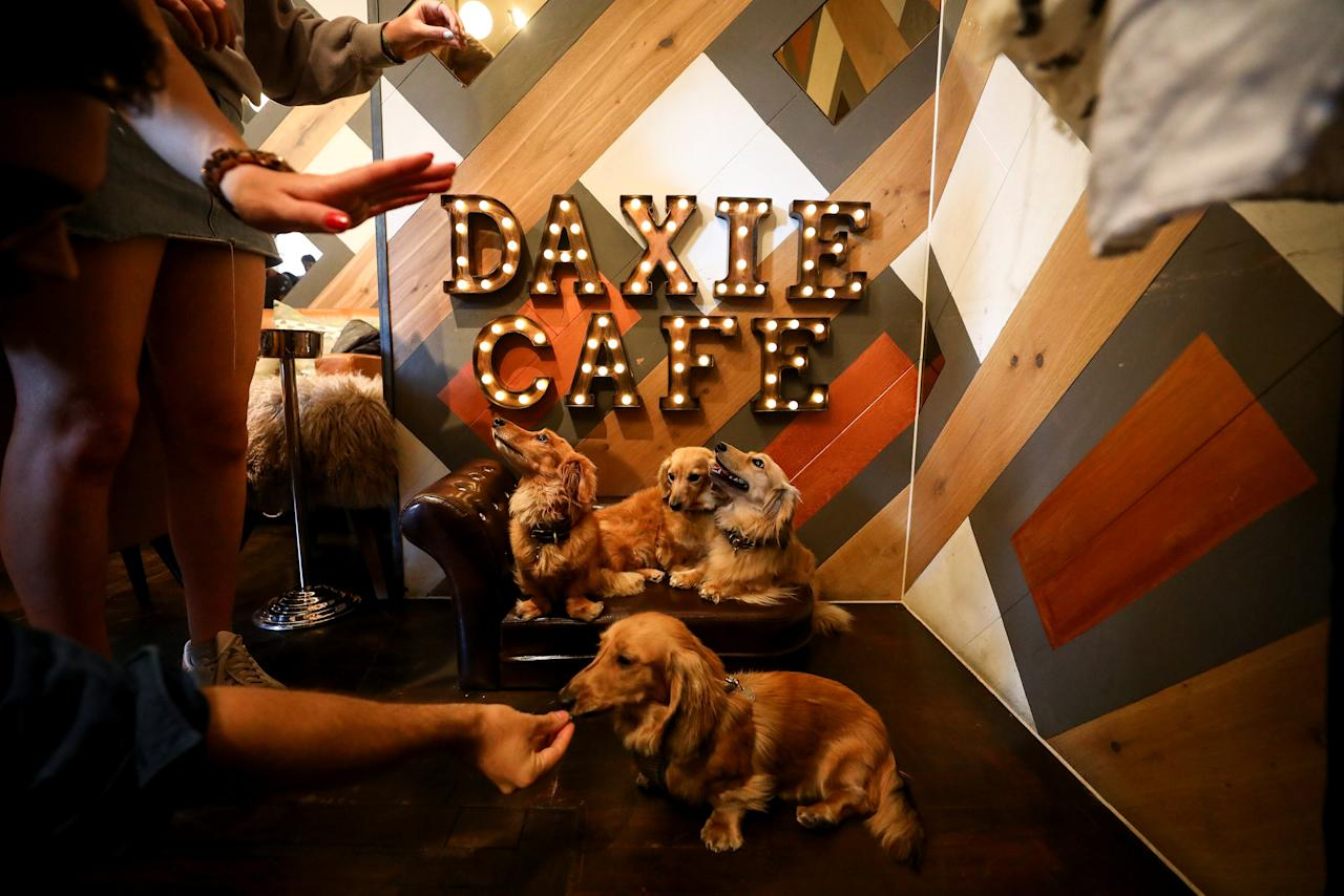 <p>Dachshund dogs are given treats as they sit on a sofa at a pop-up Dachshund cafe in London. (Reuters) </p>