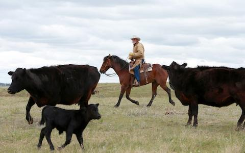 KC Weingart herding his cattle - Credit: Jackie Jensen for the Telegraph