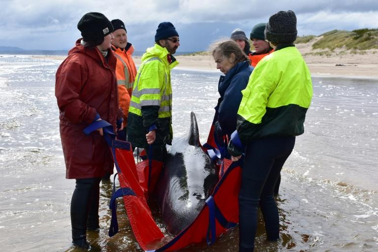 Whale rescuers face grim task in Australia mass stranding