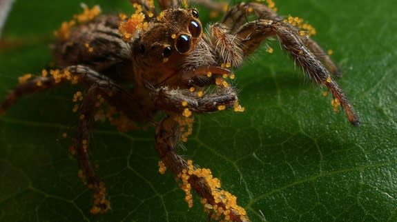 A jumping spider (<em>Plexippus</em> sp.) covered with yellow Hibiscus pollen in Kinshasa, Congo.