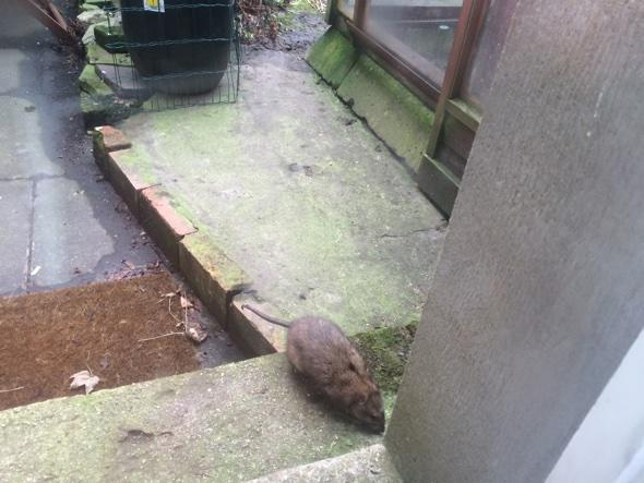 Giant rat leaves Londoner too scared to leave house