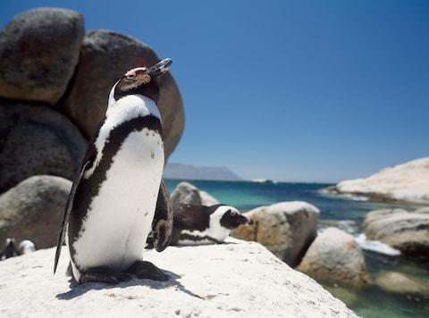 See waddling penguins at Boulders Beach - Credit: GETTY