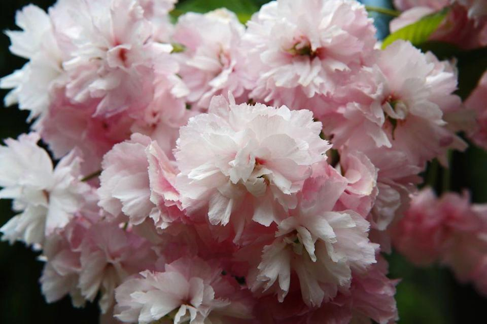 <p>March, or after the last frost, is also a great time to plant flowering trees such the Cherry Blossom tree. Find a spot in your yard or garden that gets at least 6 hours of direct sunlight for your tree to thrive.</p>