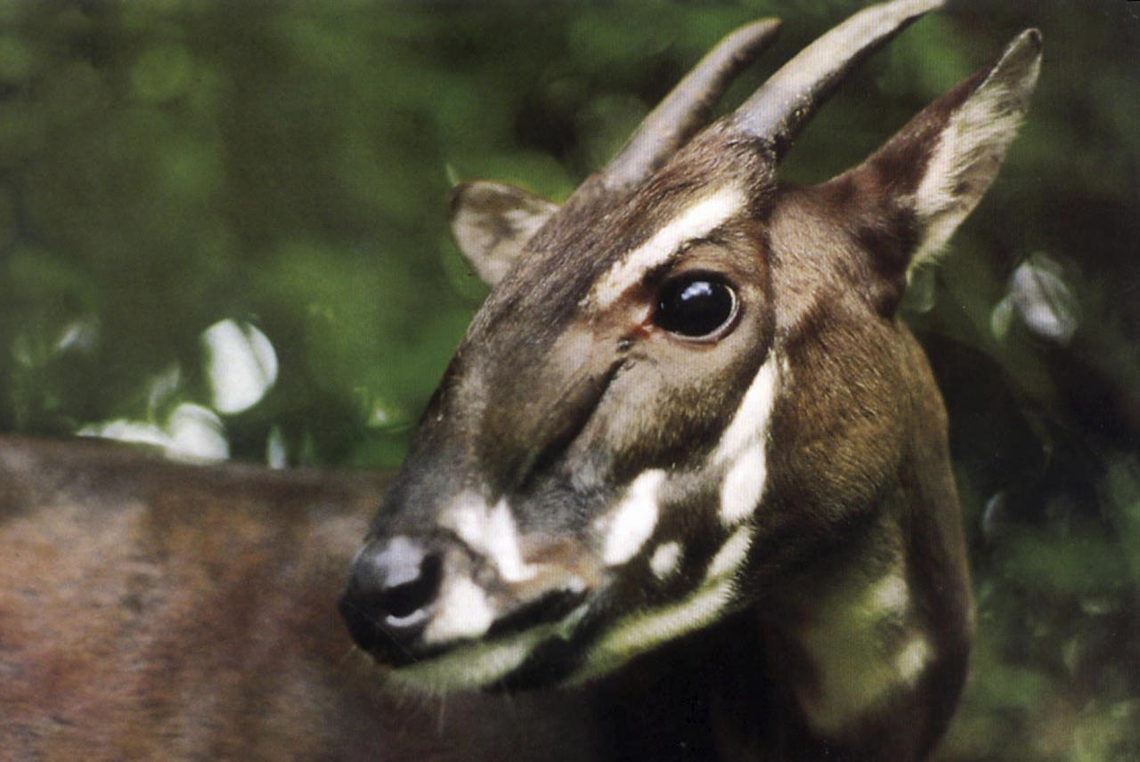 "In this undated photo released by the international conservation group WWF, a saola pauses in the jungle of Vietnam. A new nature reserve in Quang Nam, central Vietnam, raises hope for the survival of the recently discovered and critically endangered antelope-like species called the saola, an official said Monday, April 18, 2011. The saola looks like a small deer or antelope with two horns, even though it's locally called an Asian ""unicorn."""