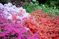 <p>While azaleas are known for their spring blooms, many varieties thrive in fall, and some all year round! Use these to create color blocking throughout the garden.<strong><br></strong><strong><br></strong><strong>When it blooms: </strong>Spring to fall</p><p><strong>Where to plant:</strong> Light to moderate shade</p><p><strong>When to plant: </strong>Spring or fall</p><p><strong>USDA Hardiness Zones: </strong>6 to 9</p>