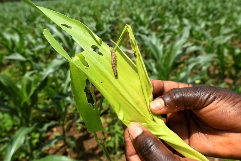 The fall armyworm, an invasive species from the Americas, has now spread across almost all of Africa, according to UN food experts