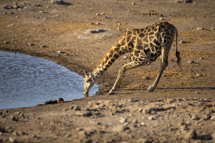 A young giraffe gets low to drink at the Chudop water hole near the Namutoni campsite in Etosha National Park. (Photo: Gordon Donovan/Yahoo News)