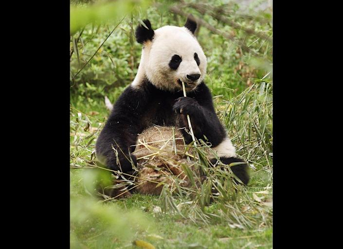 A baby Panda is seen at the Chengdu Research Base of Giant Panda Breeding on April 19, 2011 in Chengdu, China.