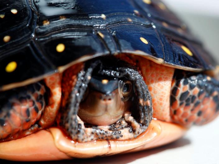 A spotted turtle in the US.