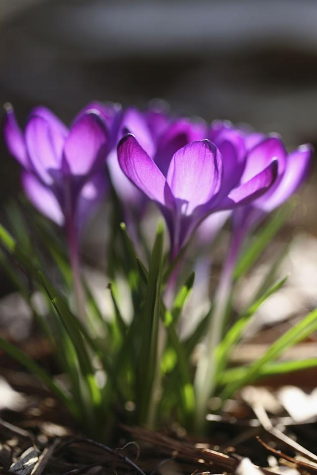 "<p>Crocuses are some of the earliest bulbs to push through the earth, often appearing when there's still snow on the ground. Plant them en masse for a beautiful swath of color. And don't be surprised if you find them popping up in other places in your yard. Squirrels and chipmunks like to dig them up and rebury them elsewhere!<br></p><p><strong>USDA Hardiness Zones:</strong> 3 to 8</p><p><strong>Varieties to try:</strong> Blue Pearl, Tricolor</p><p><a class=""body-btn-link"" href=""https://www.amazon.com/20-Jumbo-Plus-Saffron-Crocus/dp/B010MD7G5Q/ref=sr_1_7?tag=syn-yahoo-20&ascsubtag=%5Bartid%7C10057.g.27824494%5Bsrc%7Cyahoo-us"" target=""_blank"">BUY NOW</a></p>"