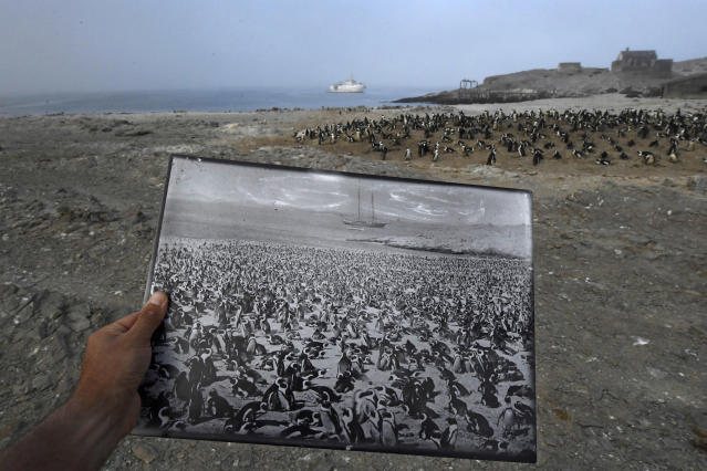 <p>Back in time: A historic photograph of an African penguin colony, taken in the late 1890s, is a stark contrast to the declining numbers seen in 2017 in the same location, on Halifax Island, Namibia. The colony once numbered more than 100,000 penguins, March 11, 2017.<br>The African penguin, once southern Africa's most abundant seabird, is now listed as endangered. Overall, the African penguin population is just 2.5 percent of its level 80 years ago; research conducted on Halifax Island by the University of Cape Town indicates the population has more than halved in the past 30 years. Historically, the demand for guano (bird excrement used for fertilizer) was a cause of the decline: the birds burrow into deposits of guano to nest. Human consumption of eggs and overfishing of surrounding waters are also seen as causes. In the seas around Halifax Island sardine and anchovy — the chief prey of the African penguin — are now almost absent. (Photo: Thomas P. Peschak) </p>