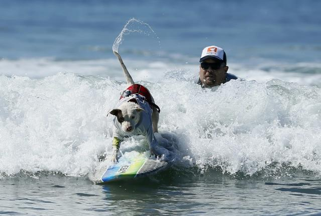 A dog wags its tail as it competes in the Surf City surf dog competition in Huntington Beach, California, September 29, 2013. REUTERS/Lucy Nicholson (UNITED STATES - Tags: SPORT ANIMALS SOCIETY)