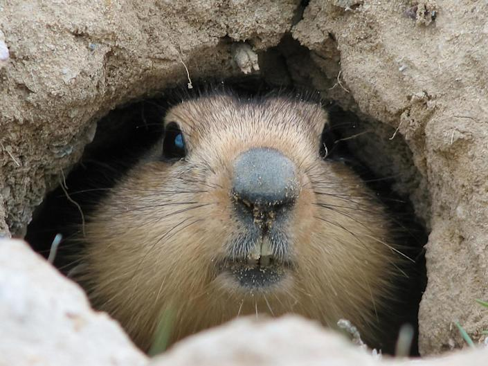 A city in Inner Mongolia has asked people to report any sick or dead marmots following a reported case of plague: iStock