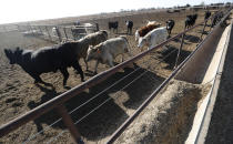 Cattle run toward feed on Tim Black's Muleshoe, Texas, farm on Monday, April 19, 2021. Black, a longtime corn farmer, now raises cattle and plants on some of his pasture in wheat and native grasses because the Ogallala Aquifer, needed to irrigate crops, is drying up. (AP Photo/Mark Rogers)