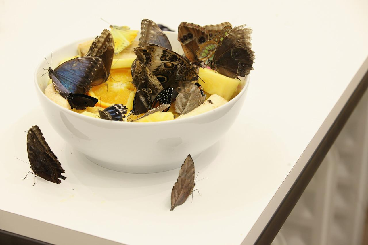 LONDON, ENGLAND - APRIL 02:  Live butterflies sit in a bowl of fruit in an installation 'In and Out of Love' by Damien Hirst in the Tate Modern art gallery on April 2, 2012 in London, England. The Tate Modern is displaying the first major exhibition of Damien Hirst's artworks in the UK, bringing together the collection over 70 of Hirst's works spanning three decades. The exhibition opens to the general public on April 4, 2012 and runs until September 9, 2012.  (Photo by Oli Scarff/Getty Images)