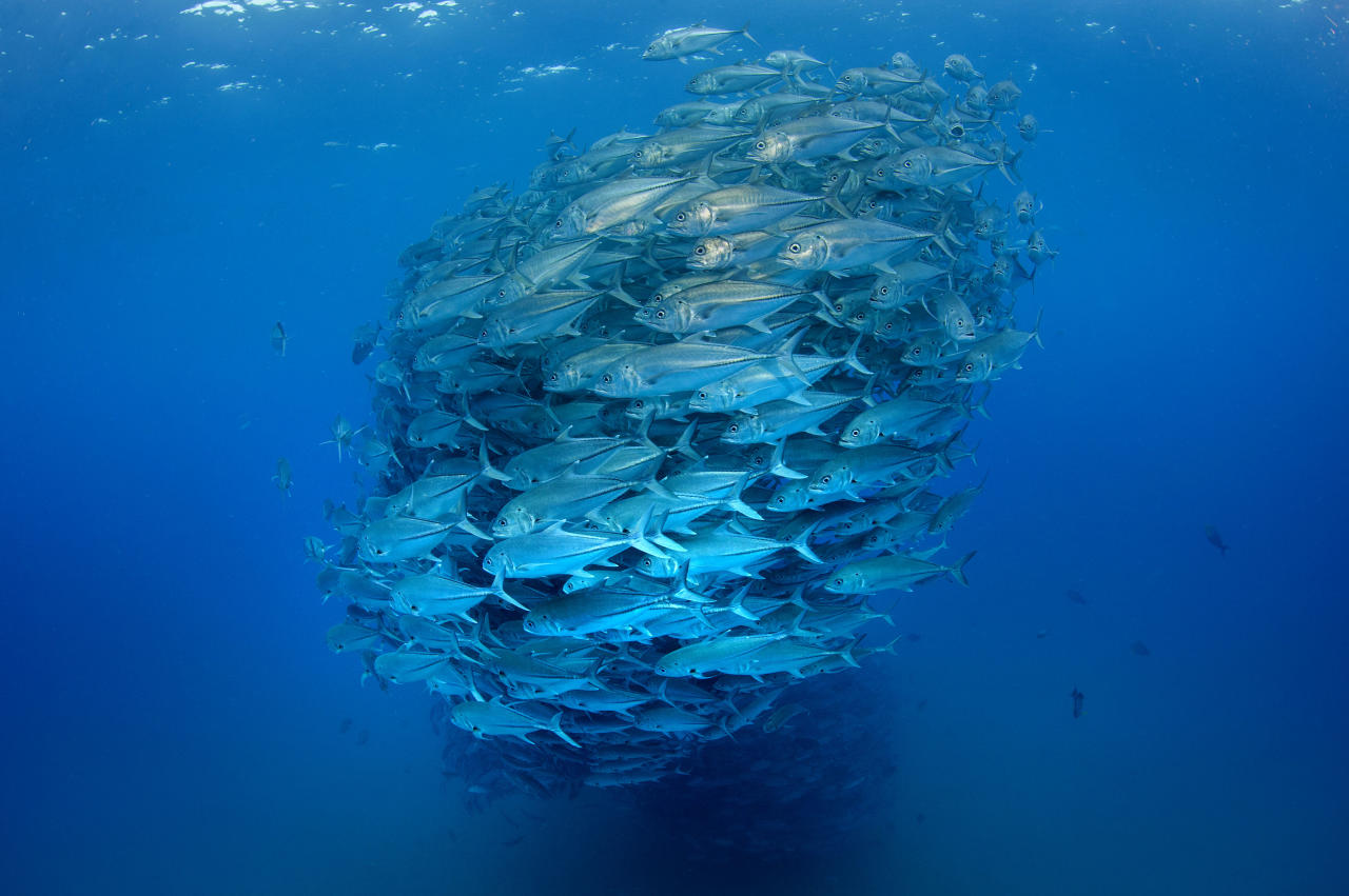 PIC BY OCTAVIO ABURTO / CATERS NEWS - (PICTURED The fish gather together to make a huge ball of fish) - Smile - its the school photo! This is the hilarious moment a marine photographer managed to capture hundreds of wide-eyed fish apparently posing for a picture. Californian photographer and conservationist Octavio Aburto had spent years photographing the school in Cabo Pulmo National Park, Mexico - and had been trying to capture this exact shot for three years. The Bigeye travellies fish gather in their thousands in the oceans during courtship. SEE CATERS COPY