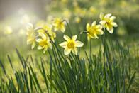 """<p>Signifying new beginnings, daffodils are one of the most popular spring bulbs. While these are best planted in mid-to-late autumn, you can pick them up in local florists around springtime. Ideal for cheering up your home. </p><p><a class=""""link rapid-noclick-resp"""" href=""""https://go.redirectingat.com?id=127X1599956&url=https%3A%2F%2Fwww.gardeningexpress.co.uk%2Fnarcissi-daffodil-elka-pack-of-25-bulbs&sref=https%3A%2F%2Fwww.countryliving.com%2Fuk%2Fhomes-interiors%2Fgardens%2Fg35147195%2Fflower-trends-2021%2F"""" rel=""""nofollow noopener"""" target=""""_blank"""" data-ylk=""""slk:BUY NOW VIA GARDENING EXPRESS"""">BUY NOW VIA GARDENING EXPRESS</a></p><p><strong>Like this article? </strong><a href=""""https://hearst.emsecure.net/optiext/cr.aspx?ID=zsATrj4qAwL7PXfHOfbti0xjie5wOfecvOt8e1A3WvL5x0TsMrTgu8waUpN%2BcCNsV3wq_zCaFTleze"""" rel=""""nofollow noopener"""" target=""""_blank"""" data-ylk=""""slk:Sign up to our newsletter"""" class=""""link rapid-noclick-resp""""><strong>Sign up to our newsletter</strong></a><strong> to get more articles like this delivered straight to your inbox.</strong></p><p><a class=""""link rapid-noclick-resp"""" href=""""https://hearst.emsecure.net/optiext/cr.aspx?ID=zsATrj4qAwL7PXfHOfbti0xjie5wOfecvOt8e1A3WvL5x0TsMrTgu8waUpN%2BcCNsV3wq_zCaFTleze"""" rel=""""nofollow noopener"""" target=""""_blank"""" data-ylk=""""slk:SIGN UP"""">SIGN UP</a></p>"""