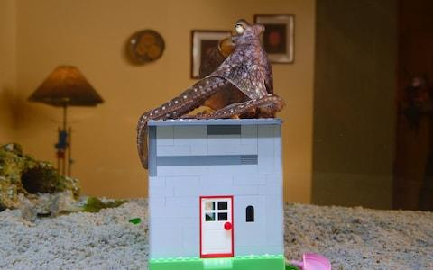 The Scheels' octopus gets used to its Lego house - Credit: Quinton Smith