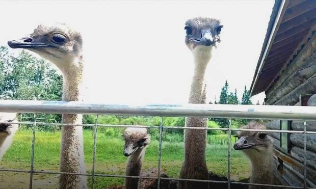 Some of the ostriches kept at the Ostrich Feather B&B in Lone Butte, B.C. (Jordan Tucker - image credit)