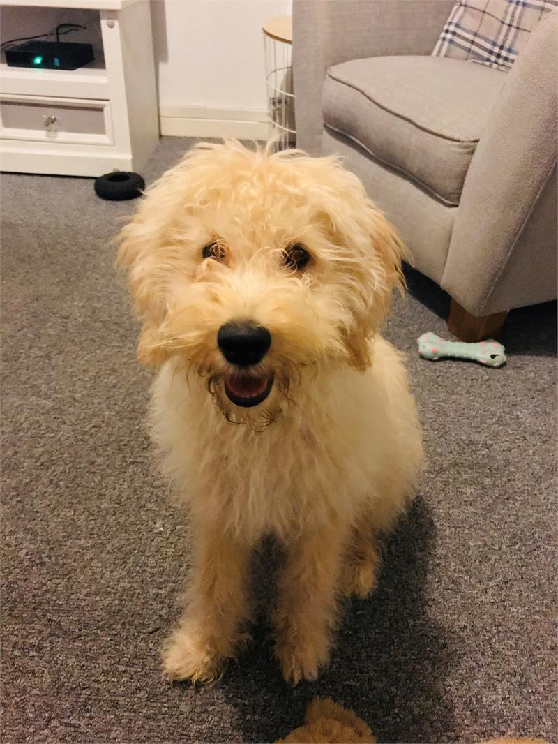 Six-month-old Waffle was stolen from its owner while out on a morning walk in Cornwall. (Devon and Cornwall police)
