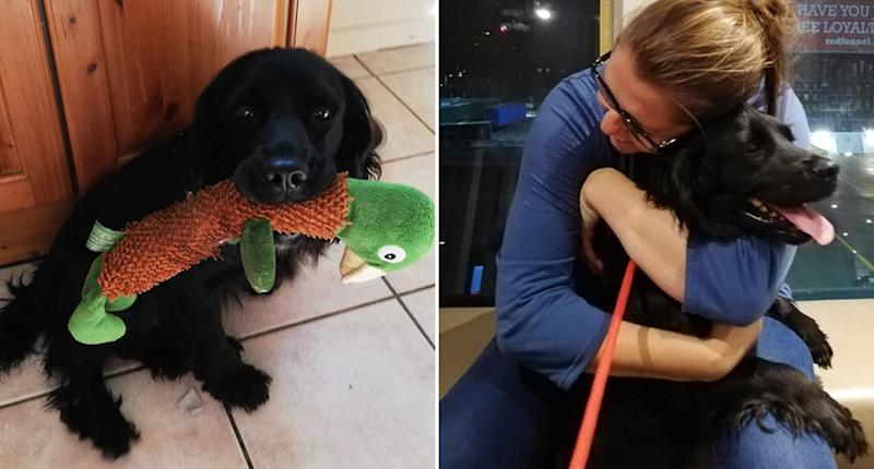 Fern, a sprocker Spanial, is pictured with a toy and (right) with her owner Jodie Ferrier. Fern went missing outside the Ferrier family home in 2013 but last week was reunited with her owners.