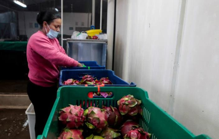 FILE PHOTO: A woman sorts and packs dragon fruit