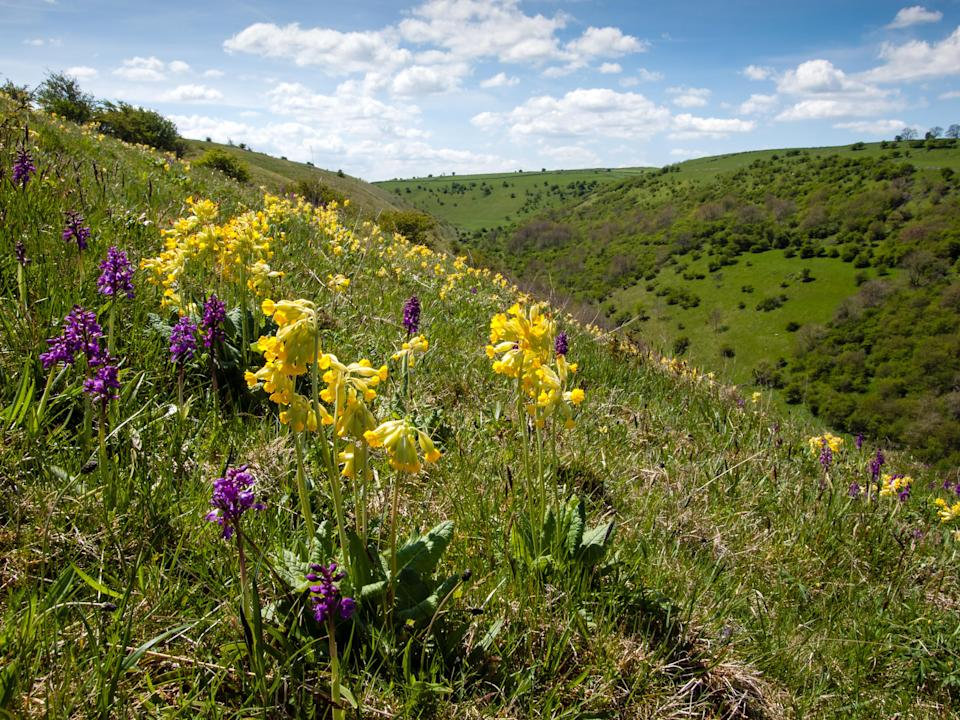 Cowslips and early-purple orchids flowering on the upper slopes of the Plantlife Nature Reserve at Deep Dale, Derbyshire (Roger Butterfield/Plantlife/PA)