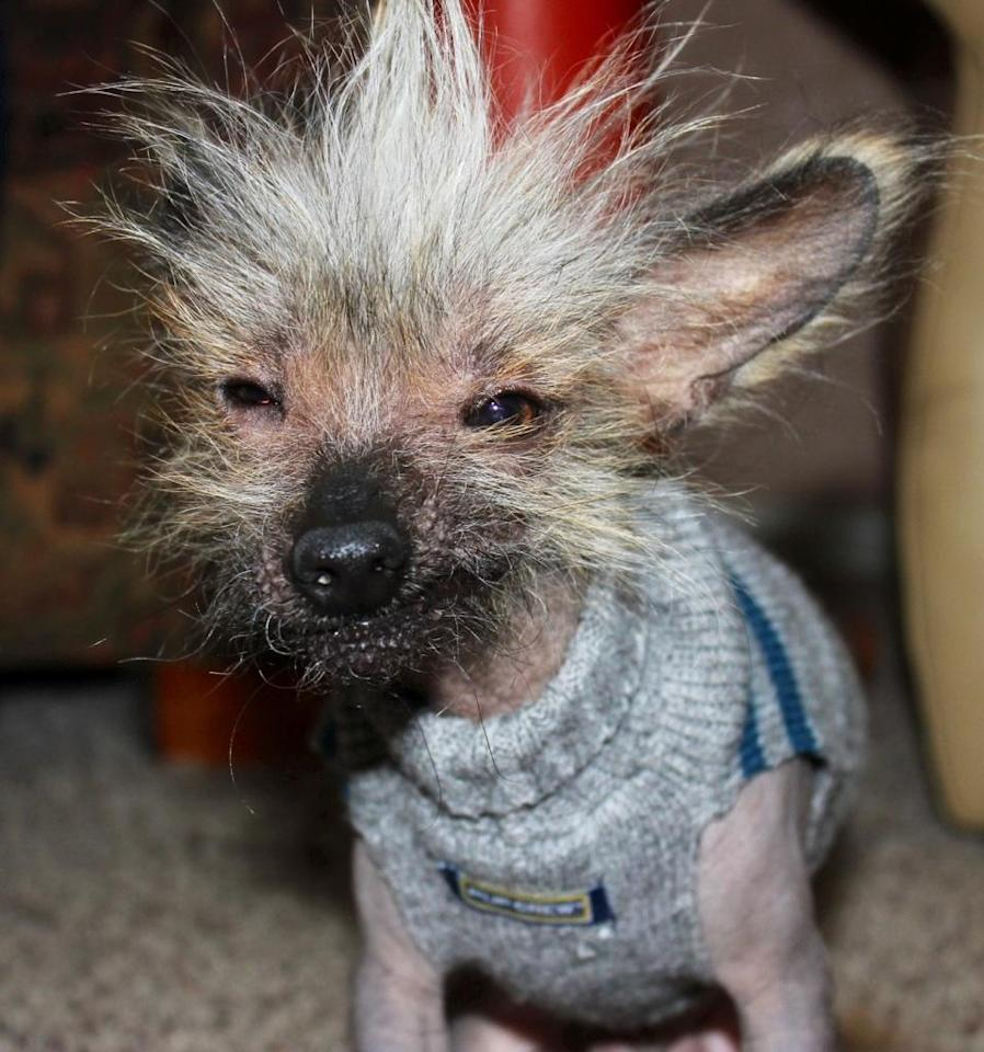 Meet Chupee, a contestant in the World's Ugliest Dog Contest. The contest, currently in its 25th year, is on at the Sonoma-Marin Fair in Petaluma, California, on Friday, June 21. The winner will be given $1,500. Eight-year-old Chinese Crested pooch named Mugly won the crown in 2012. Photo courtesy of the World's Ugliest Dog ® Contest, June 21, Sonoma-Marin Fair, Petaluma, California.