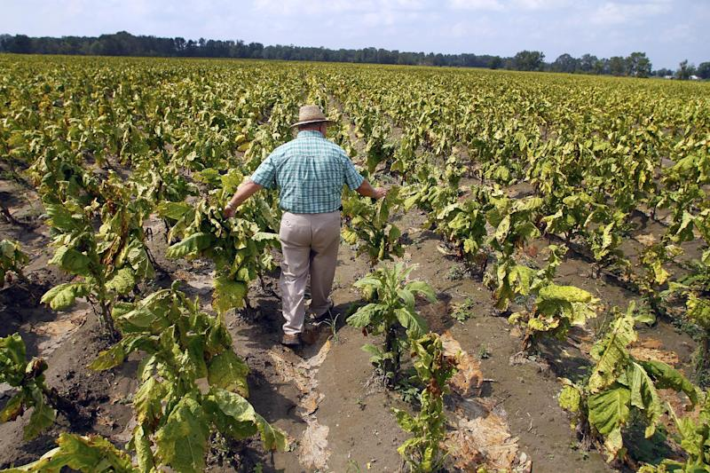 Keith Beavers examines his tobacco crop in aftermath of Hurricane Irene in Mount Olive, N.C., Tuesday, Aug. 30, 2011.  Far from the beach towns that took Hurricane Irene's first hit, the storm inflicted some of its worst damage on inland farms from North Carolina to New York as crops were pummeled by wind, scalded by salt spray and submerged by floodwaters. Some farmers are reporting total losses. (AP Photo/Jim R. Bounds)