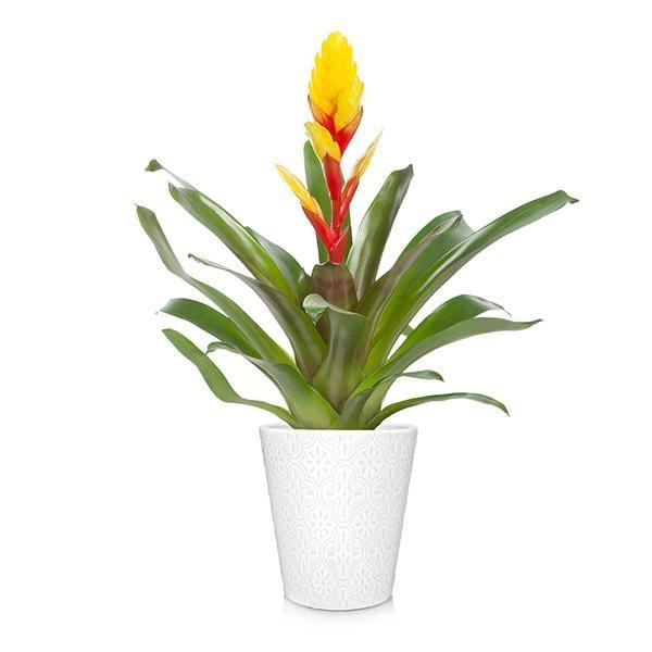 <p>Known for its colorful blooms and modern foliage, the <span>Bromeliad</span> ($60) couldn't be easier to grow.</p>