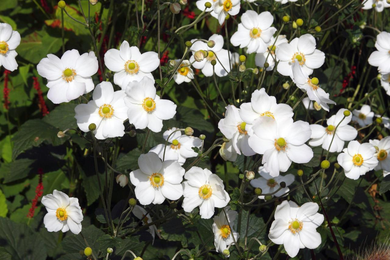 <p><strong><i>Anemone x hybrida</i></strong></p> <p>Anyone need a fall flower for shade? Japanese anemone is the ticket. Wands of showy flowers rise two to three feet above tufts of handsome, basal leaves. Blooms flaunt bright yellow stamens circling a central green eye. Clumps slowly expand, but don't take over. Give Japanese anemone light shade and fertile, moist, well-drained soil in USDA Zones 4 to 8. Recommended selections: 'Honorine Jobert,' (white, shown above), 'Queen Charlotte' (pink), Prinz Heinrich (rosy-red), and 'September Charm' (silvery-pink).</p>