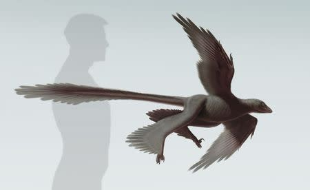 An artist's rendering shows the newly discovered feathered dinosaur, Changyuraptor yangi, in this image released on July 15, 2014, courtesy of the Natural History Museum (NHM)'s Dinosaur Institute. Scientists on Tuesday described fossils of the strange dinosaur that lived in China 125 million years ago, which was covered in feathers, looked like it had two sets of wings and may have been able to glide.  REUTERS/S. Abramowicz/Dinosaur Institute/NHM/Handout via Reuters