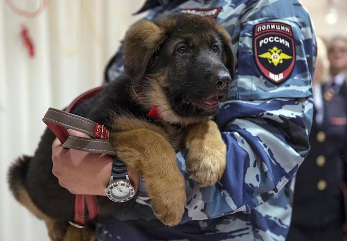 A Russian police officer holds a puppy, named Dobrynya, before presenting it to French police in the French Embassy in Moscow, Russia, Monday, Dec. 7, 2015. Russian police puppy Dobrynya will take place of a French service dog Diesel which died in a special operation held in Paris on November 18. (AP Photo/Pavel Golovkin)