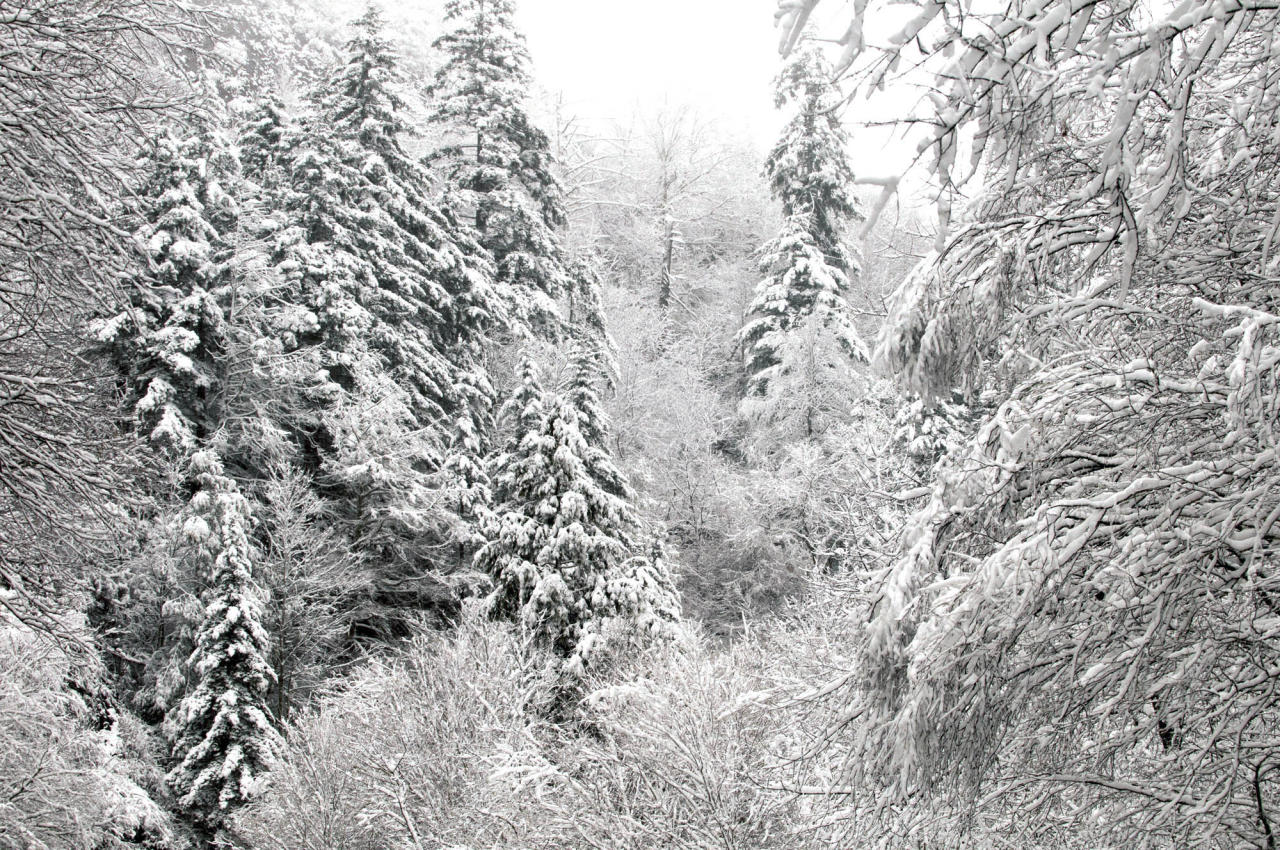 Snow-covered trees are seen after an overnight storm Monday, Oct. 29, 2012, in the Great Smoky Mountains National Park, near Gatlinburg, Tenn. Rangers expect more snow and high winds in the days to come as fallout from the storm pounding the East Coast. (AP Photo/Knoxville News Sentinel, J. Miles Cary)