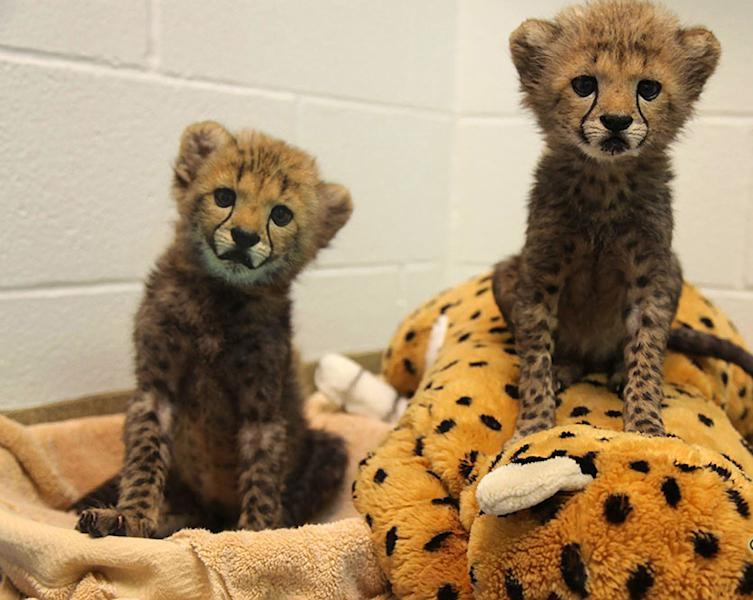 This undated photo provided by The Dallas Zoological Society shows two male cheetah cubs, Winspear and Kamau, born July 8 , 2013, that have joined the Dallas Zoo population. Zoo officials have marked the occasion by providing them with a puppy_an 8-week-old black Labrador retriever named Amani. (AP Photo/Dallas Zoological Society)