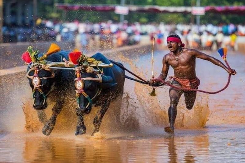 Faster Than Usain Bolt? Karnataka Man Running With Buffaloes Covers 100 Metres in Just 9.55 Seconds