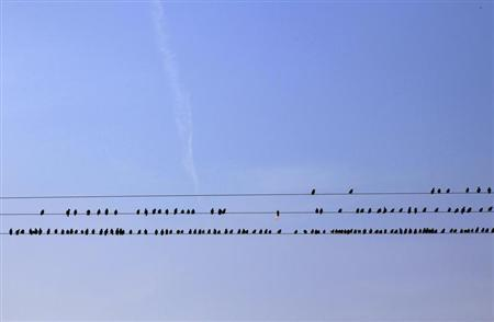 Starlings perch on power lines above farmland near Dungeness in southern England March 15, 2011. REUTERS/Stefan Wermuth