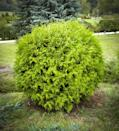 "<p>Arborvitae come in many shapes and sizes, but the dwarf round variety, which maxes out at 1 to 3 feet tall, is a great evergreen for foundation planting. Look for types such as Mr. Bowling Ball and Tater Tot. Note that they prefer full sun.</p><p><a class=""link rapid-noclick-resp"" href=""https://www.greatgardenplants.com/products/tater-tot-arborvitae"" rel=""nofollow noopener"" target=""_blank"" data-ylk=""slk:SHOP NOW"">SHOP NOW</a> </p>"