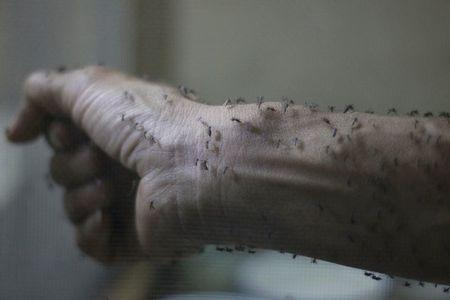 The forearm of a public health technician is seen covered with sterile female Aedes aegyti mosquitoes after leaving a recipient to cultivate larvae, in a research area to prevent the spread of Zika virus and other mosquito-borne diseases, at the entomology department of the Ministry of Public Health, in Guatemala City, January 26, 2016. REUTERS/Josue Decavele