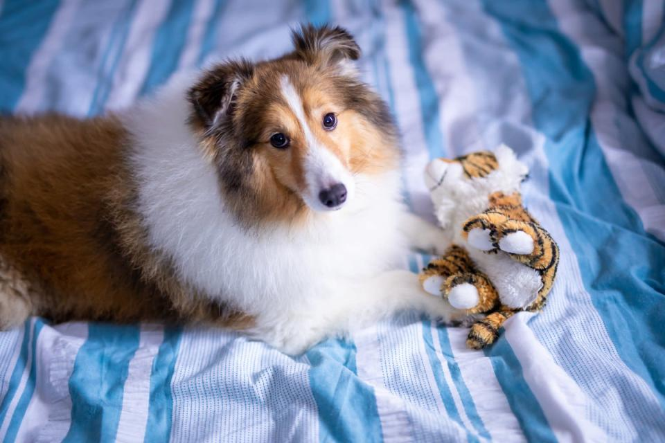 <span>Prince, a seven-year-old shetland sheepdog which went missing under Platinium's care, remains missing as of 7 January, 2019. (</span>PHOTO: Elaine Mao/Facebook)