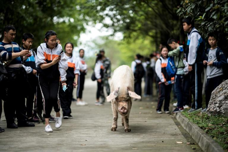 The celebrity pig has been adopted by a museum in Sichuan