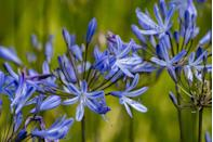 <p>In warmer regions such as Florida, summer bulbs like agapanthus can be planted during February. Plant them in a spot where they will receive at least 6 to 8 hours of direct sunlight. </p>